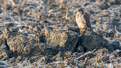 Turmfalke (Kestrel) (oliver_hb) Tags: greetsiel krummhrn leyhrn ostfriesland nordsee vogel turmfalke falke greifvogel