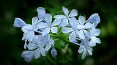 Delicate blue (PeterCH51) Tags: flower blue lightblue delicateblue flowers bokeh sweden uppsala botanical garden botanicalgarden peterch51 plumbago explore explored inexplore plumbagoauriculata plumbagocapensis bleiwurz