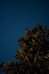 New Zealand Pigeon/Kereru (Hemiphaga novaeseelandiae) and Taraire (Beilschmiedia tarairi) (Nga Manu Images NZ) Tags: beilschmiediatarairi dispersal fscientificnames feeding hemiphaganovaeseelandiae plantsandfungi taraire trees
