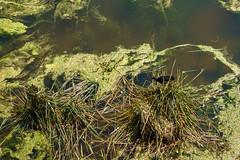 WATER HENS (scatrd) Tags: waterhen ingress sonya6000 australia city sony 2016 waterhenchick nsw locations country wildlife sonyx newsouthwales jasonbruth a6000 sydney e50mmf18oss sydneyolympicpark au