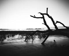 img219 (royjet3) Tags: pentax6x7 ilfordfp4 film selfdeveloped blackandwhite 45f4lens redfilter 120film mediumformat beach tree ilfosol 3 vintagecamera filmslr wideangle sthelena southcarolina landscape water