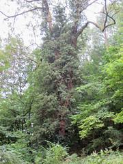 IMG_5522 (jaglazier) Tags: 2016 91716 bielefeld copyright2016jamesaglazier deciduoustrees germany northrhinewestphalia plants september trees clouds forests gardens parks vines nordrheinwestfalen