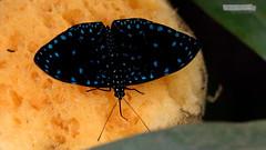 Schmetterling - Butterfly (jensfechter) Tags: bendorf sayn castle schloss blau schwarz schmetterling butterfly