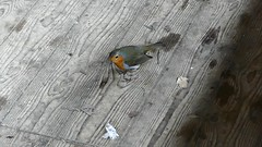 the New Hide cleaner (ericy202) Tags: robin scavenginginsidehide norfolk