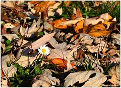 autumn daisy (mayflower31) Tags: herbst autumn wiese laub bltter leaves blume flower gnseblmchen