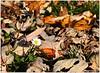 autumn daisy (mayflower31) Tags: herbst autumn wiese laub blätter leaves blume flower gänseblümchen