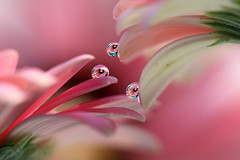 Pink daisies (Marilena Fattore) Tags: macro canon tamron colors water drops fantasy nature closeup petals floralart reflection bokeh pink delicate softness daisy flower garden
