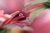 Pink daisies (Marilena Fattore) Tags: macro canon tamron colors water drops fantasy nature closeup petals floralart reflection bokeh pink delicate softness daisy flower garden