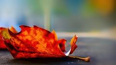 Une feuille 2911 (Yasmine Hens) Tags: feuille leave autumn hensyasmine namur belgium wallonie europa aaa  belgique blgica    belgio  belgia   bel be