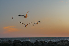 Early Risers (White Balance Imaging Photography) Tags: beachocean birds fauna nature oceanview places seaguls sunrise weather