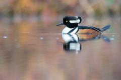 Morning Merganser (PhillymanPete) Tags: duck wildlife hoodedmerganser bird waterfowl beauty nature drake male merganser westdeptford newjersey unitedstates us nikon d7200 morning color