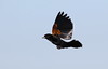 Fan-tailed widowbird, Euplectes axillaris, also known as the  Red-shouldered Widowbird, at Rietvlei Nature Reserve, Gauteng, South Africa (Derek Keats) Tags: fantailedwidowbird taxonomy:family=ploceidae euplectesaxillaris widowbirds redshoulderedwidowbird bird birds taxonomy:binomial=euplectesaxillaris naturereserves birding nature naturereserve ploceidae birdwatching