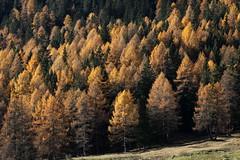 Comunità (lincerosso) Tags: alberi trees bosco foresta forestamista peccio piceaabies larice larixdecidua autunno dolomiti bellezza armonia