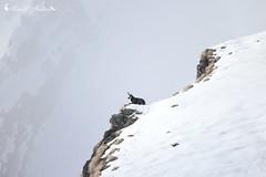 Camoscio (Rupicapra rupicapra) (Am.Am) Tags: camoscio rupicapra inverno autunno alpi rupicaprarupicapra fauna ungulati neve andreamorelli morelli valtellina sondrio italia