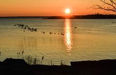 Morning Flight (Lojones13) Tags: sunrise morning longislandsound water birds flock nikond5300 newyork westchester flight outdoor silhouette