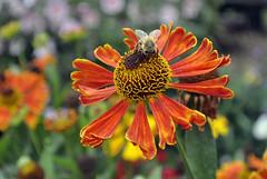 Akkordarbeiterin (borntobewild1946) Tags: sommer blte insekt biene wespe fluginsekt nektarsammler copyrightbyborntobewild1946 copyrightsbyberndloos fleissigenektarsammlerindersommerneigtsichdemendezudiezeitdrngtnun