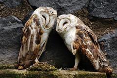 Tyto alba DT [I Parque Condor] (1a) (Archivo Murcilago Blanco) Tags: alba strigiformes lechuza tyto tytonidae tirira diegotirira archivomurcielagoblanco