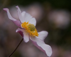 Japanese anemone. Pink flower. (Sarah Anne Mac) Tags: japaneseanemone flowerportrait queencharlotteanemone flowerthequietbeauty