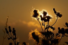 Creeping Thistle (Wijnand Kroes Photography) Tags: sunset thistle cirsium creeping arvense