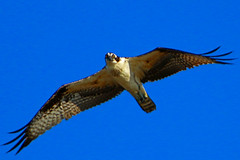 osprey staring (robertskirk1) Tags: bird nature animal de outdoor wildlife delaware animalplanet animalkingdom defendersofwildlife fowlerbeach fantasticnature primehooknationalwildliferefuge naturemasterclass nationalgeographicwildlife earthnaturelife