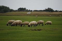 DSC03594 (majolie46) Tags: mer sheep dunes normandie préssalés baiedumontstmichel saltmeadows lavanlée borduredemer paysagedunaire hâvremaritime