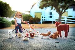 Maggie's Wayward Pet-Walking Business (5hens) Tags: summer dog rabbit chicken girl 50mm cow maggie american calf americangirl 5hens 5hensandahowardbird 5hensandacockatiel