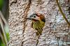 pica-pau-verde-barrado (Colaptes melanochlorus) (Ana Carla AZ) Tags: birds rj aves lugares colaptes lidice piciformes picidae picapauverdebarrado colaptesmelanochlorus picapaus melanochlorus