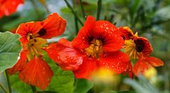 After the rain (Steve-h) Tags: nature natura naturaleza flowers blossoms nasturtiums wallflowers raindrops drops colour colours red orange yellow green white black patterns natural art design dublin ireland europe autumn fall november 2016 steveh pretty monopod