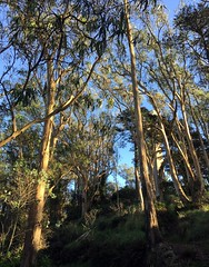 #MountDavidson #SanFrancisco (Σταύρος) Tags: mountdavidson sanfrancisco sf park saturdayafternoon mtdavidson san francisco sherwoodforrest city sfist サンフランシスコ thecity σανφρανσίσκο saofrancisco georgedavidson iphone iphone6 takenwithaniphone telephone cellphone cell phone gps iphone6capture iphonecapture backcamera mobilephone appleiphone apple flora fauna trees bushes shurbs leaves windy cold hike climb 1923 cross mountdavidsoncross