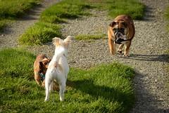 (Ian Threlkeld) Tags: dog nikon bc britishcolumbia explore pnw irt nikonphotos adogslife pittmeadows dogsatplay nikonphotographer dogsofflickr explorebc d7000 mynikonlife
