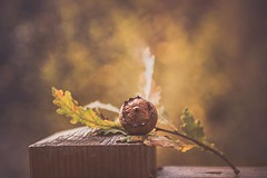 Oak acorn (RoCafe) Tags: autumn forest oak acorn leaves branch bokeh selective focus nikkor2470f28 nikond600 nature
