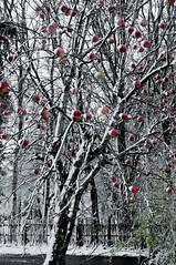 Oh nein! Plötzlich Winter; die Äpfel müssen gepflückt werden; Bergenhusen, Stapelholm 2 (Chironius) Tags: frucht fruit frutta owoc fruta фрукты frukt meyve buah stapelholm bergenhusen schleswigholstein deutschland germany allemagne alemania germania германия niemcy herbst herfst autumn autunno efteråret otoño höst jesień осень rosids fabids rosales rosenartige rosaceae rosengewächse rosoideae pyreae kernobstgewächse pyrinae apfel malus baum bäume tree trees arbre дерево árbol arbres деревья árboles albero árvore ağaç boom träd schnee lebensmittel