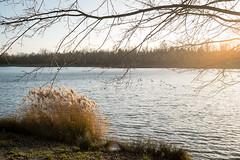 AmKuhsee (BX_Orange) Tags: sunset plants lake tree water germany bayern deutschland bavaria see wasser sonnenuntergang gras ufer ste augsburg schilf zweige mven kuhsee