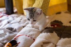 cute kitten (keiminiminasi) Tags: cute animal cat kitten
