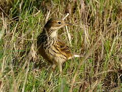 Pipit farlouse (zogt2000 (No Video)) Tags: bird bretagne oiseau pipitfarlouse plomeur kerharo