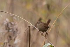 Wren-1852 Explored (WendyCoops224) Tags: canon eos explore wren 70d explored 100400mml oliveswood localbirdswildlife ©wendycooper