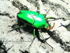 Eudicella morgani camerounensis (cetoniidae, dynastidae, lucanidae) Tags: macro insect beetle insects breeding beetles grubs entomology coleoptera lucanidae cetoniidae eudicella dynastidae