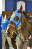 2015-12-06 (19) r5 #5 Scent of Gold at Laurel Park (JLeeFleenor) Tags: photos photography md marylandhorseracing marylandracing laurelpark horses thoroughbreds equine equestrian cheval cavalo cavallo cavall caballo pferd paard perd hevonen hest hestur cal kon konj beygir capall ceffyl cuddy yarraman faras alogo soos kuda uma pfeerd koin حصان кон 马 häst άλογο סוס घोड़ा 馬 koń лошадь paddock maryland
