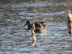 Blue-winged Teals (lily_britches) Tags: bird waterfowl teals indianabirds bluewingedteals