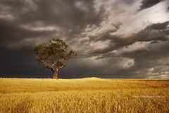 _DSC010707-12-15 (Valley Imagery) Tags: storm tree clouds landscape wheat south australia valley barossa imagery paddock lyndoch