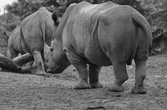 Rhino column (dfromonteil) Tags: rhino mammal animal mammifre bw black white nature bokeh rhinoceros