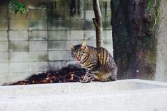 Today's Cat@2016-09-24 (masatsu) Tags: cat thebiggestgroupwithonlycats catspotting pentax mx1