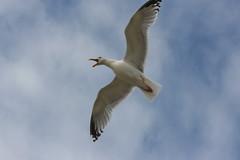Goland en Bretagne (bobroy20) Tags: goland oiseau portlouis bretagne morbihan lorient animal tourisme bec aile voler vole