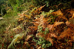 Felci (Ari in Aria) Tags: felci natura nature sottobosco bush fall autumn autunno sorgono barbagia sardegna sardinia italia italy
