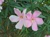 458 (en-ri) Tags: fiorellini flowers rosa foglie leaves sony sonysti