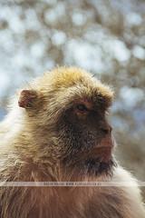 Barbary macaques in Gibraltar (Naomi Rahim (thanks for 2 million hits)) Tags: gibraltar uk rockofgibraltar unitedkingdom nature travel travelphotography nikon nikond7200 wanderlust monkey monkeys barbarymacaque portrait animal bokeh