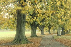 Treelined Autumn (jillyspoon) Tags: harrogate treelined autumn path leaves trees ancient inviting yorkshire northyorkshirecanon canon canon70d guardofhonour depthoffield