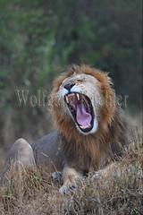 10077911 (wolfgangkaehler) Tags: 2016africa african eastafrica eastafrican kenya kenyan masaimara masaimarakenya masaimaranationalreserve wildlife mammal bigcat predator predatory bigfive lions lionpantheraleo rain rainy raining rainstorm wet maleanimal malelion yawn yawning sleepy