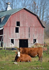 Cattle Barn (newagecrap) Tags: stockphoto centralwisconsin woodcountywisconsin woodcounty cows cattle november2016 nikond3200 newagecrapphotography badgerstate wisconsin wisconsinbarn wisconsinbarns wisconsinfarm scenic scenicfarm scenesfarm scenicbarn rural rustic rusticwisconsin ruralwisconsin ruralbarn barns barn barnphoto barnpicture barnswisconsin barnwisconsin farms farmscenes farmbuilding farming nikon z
