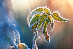 Catching the light (xkolba) Tags: nature outdoor sunrise plant field podlasie jupiter37a135mmf35 bokeh canoneos5dmkii depthoffield m42 135mm jupiter frost light nettle